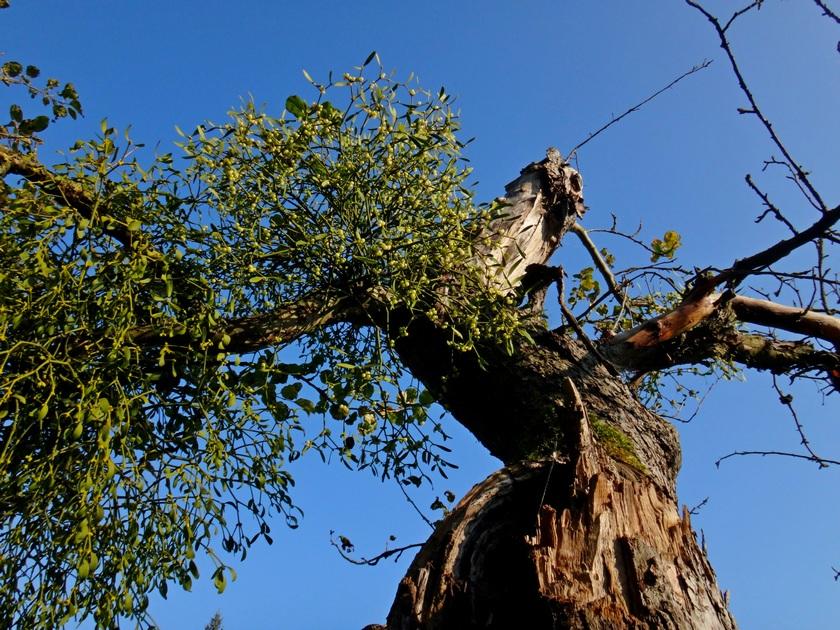 Todes Apfelbaum